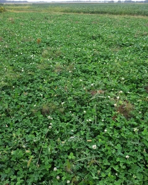 Clover-food-plot